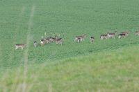 Hirsche mit Zaunlitzen